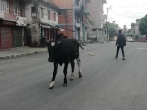 ヒンドゥー教の神様の使い、牛が悠々と闊歩