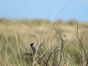 鳥を観察する人が激増。ダブリンに生息する野鳥のひとつ、オオジュリン