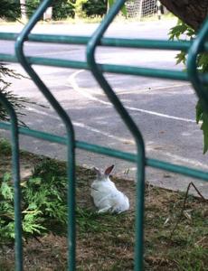 子供たちがいなくなった学校の校庭でくつろぐウサギ! 以前はここで子供たちが走り回っていました