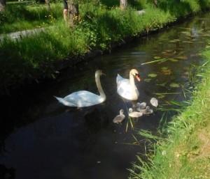 自宅裏の水路にて。毎年白鳥が子育てしています